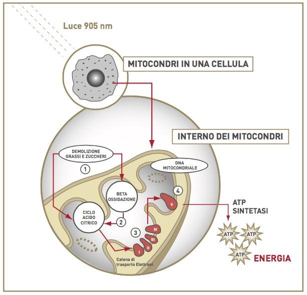 marcello-baldacchini-cellula-mitocondrio-atp-schema